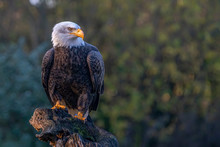 Beautiful And Majestic Bald Eagle / American Eagle  (Haliaeetus Leucocephalus)  On A Branch. American National Symbol Bald Eagle Ons Sunny Day.