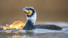 Great Cormorant In Sunset Refl...