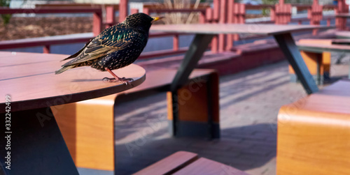 starling sits on a cafe table Wallpaper Mural