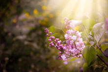 Blooming Spring Lilacs Flowers...