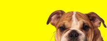 English Bulldog Dog Hiding And Looking At Camera Happy