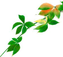 Multicolor Branch Of Grapes Le...