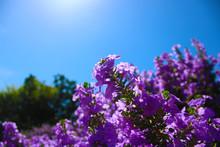 Purple Flowers On Background O...