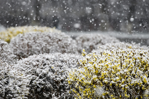 Photo Bushes forsythia flowers covered with snow.