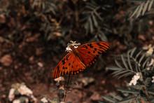 Orange Butterfly On Carnation...