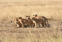 Group Of Female Lions In Seren...