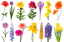 Spring Collection Of Flowers Rose, Crocus, Hyacinth, Aster, Lily, Eremurus, Poppy, Phlox, Tulip, Daffodil, Gladiolus, Delphinium Isolated On A White Background