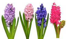 Collection Hyacinth Flower Hea...