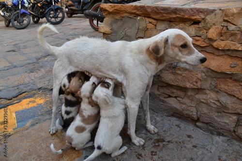 インドのラジャスタン州のジャイサルメール 世界遺産のジャイサルメール城 城内で生活する、野良犬の親子 子育てをする母犬と、 母乳を飲む子犬の群れ Wallpaper Mural