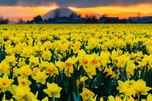 Skagit Valley Yellow Daffodil ...