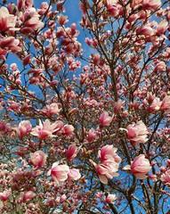 Fototapeta Do pokoju Magnolia tree blossom