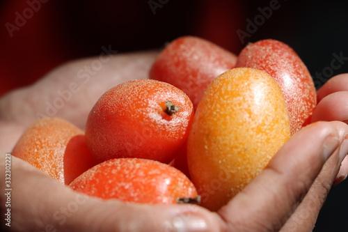 Photo Indian olives in hand, Soh-Shang (Elaeagnus latifolia), astringent wild fruit in