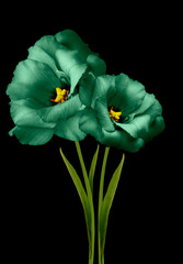 Fototapeta Kwiaty flowers green eustomas on the black isolated background with clipping path. Flowers on a stalk with green leaves. Close-up. Nature.