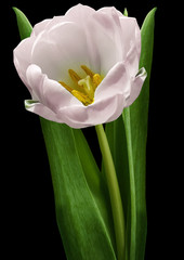 Fototapeta Do salonu pink tulip flower on the black isolated background with clipping path. Flower on a stalk with green leaves. Nature. Closeup no shadows. Garden flower.