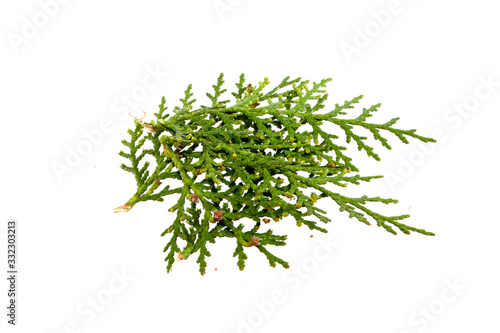 thuja isolated on white background Wallpaper Mural