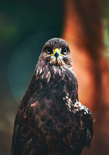 The Lesser Spotted Eagle (Clan...