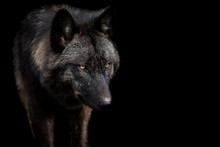 Black Wolf With A Black Backgr...