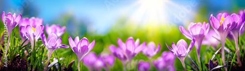 Crocus Spring Flowers - 332314259