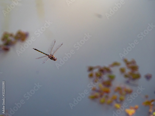 Photo Dragonfly Anisoptera with wings flapping in flight hovering over Chambers Creek