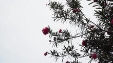 A Beautiful Rose Bush Dancing ...