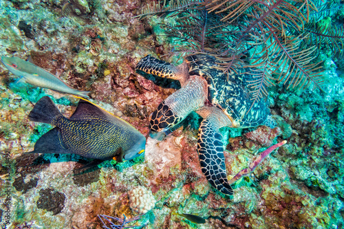 Hawksbill Sea Turtle and French Angelfish Canvas Print