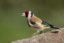 Close-up Goldfinch Standing On...