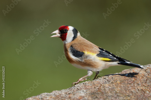 Obraz na plátně Close-up side view of a colorful goldfinch bird on a rock in nature