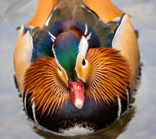 Faceon Mandarin Duck
