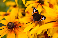 Beautiful Red Admiral Butterfly Sits On A Flower Close-up.