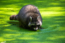 Raccoon Washing Its Food In A ...