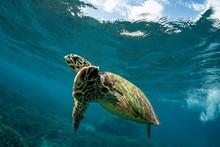 Green Turtle Underwater Off Th...