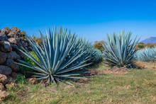 Blue Agave Field In Tequila, J...