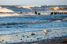 Seagull Standing On The Sea Sh...