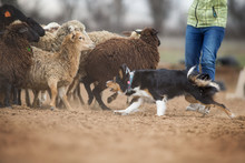 Border Collie Grazing Sheep