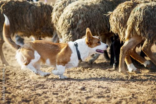 Photo Welsh Corgi grazing sheep