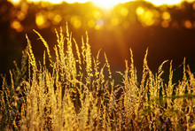 Dry Grass At Sunset On A Warm ...