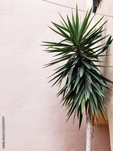 Fototapeta Exotic green palm tree on pale pink background