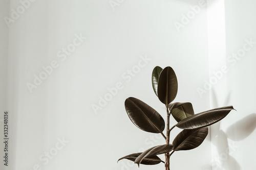 Fototapeta Green rubber plant on white background. Ficus elastica robusta. obraz
