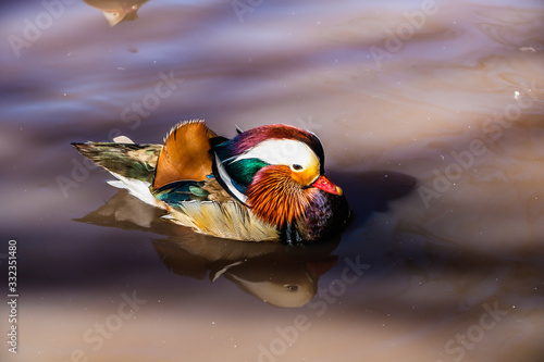 mandarin duck swimming in the lake Canvas Print