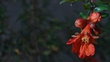Flor Roja De Fruta Granada