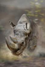 Breitmaulnashorn (Ceratotherium Simum)  Nashorn Rennt Schnell, Frontal, Staubwolke