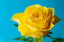 An Open Yellow Rose Flower With Blue Background