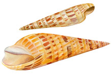 Watercolor Set Of Seashells On An Isolated White Background, Hand Drawing, Summer Sea Clipart