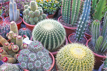 Golden Barrel Cactus Or Echino...