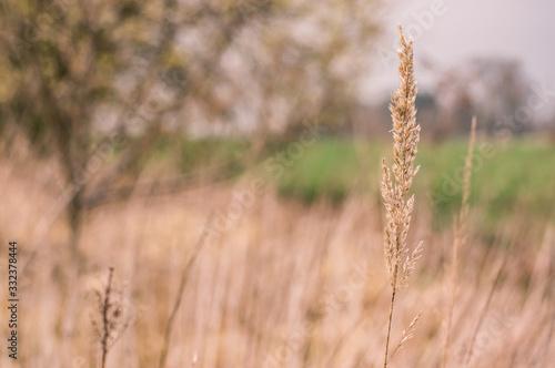 Obraz na plátně Jesienie źdźbło trawy