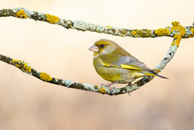 European European Goldfinch, Chloris Chloris, Perched Between Two Branches Covered With Yellow Lichens, On A Uniform Background