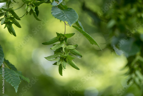 Green Beech tree  in summer in front of blurred background with immature beechnu Canvas Print