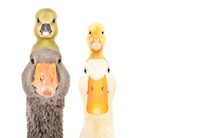 Goose And Duck With Gosling An...