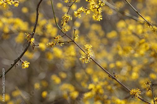 Valokuva the early spring Cornelian cherry dogwood flower