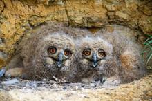 Cute Eurasian Eagle-owl, Bubo ...